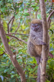Gray bamboo lemur Royalty Free Stock Photo