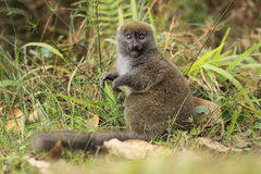 Gray bamboo lemur Royalty Free Stock Photos