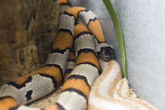 Gray Banded and Albino Stripped Kingsnakes Stock Photos