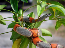 Gray banded kingsnake. On a branch stock photos
