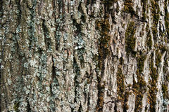 Gray Bark Of Old Tree As Texture Stock Images