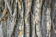 Gray bark of an old tree with cracks and chips royalty free stock images