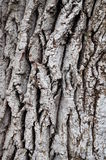 The gray bark on a tree with cracks. And indentations Stock Photography