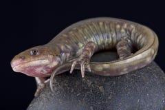 Gray barred tiger salamander (Ambystoma  mavortium diabolo). The Gray barred tiger salamander (Ambystoma  mavortium diabolo) is found in the United States Royalty Free Stock Image