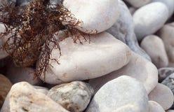 Gray beach pebbles and dry twig algae. Royalty Free Stock Photography