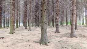 Gray Beauty Of Evergreen Forest fotografia stock