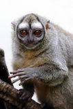 Gray-bellied night monkey royalty free stock photo