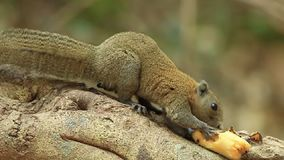 Gray-Bellied Squirrel. (Callosciurus caniceps) eating banana stock video