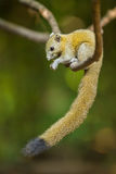 Gray-Bellied Squirrel royalty free stock images