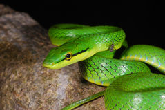 Gray-belly green rat snake Royalty Free Stock Photo