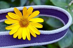 Gray belt around the bud of a yellow decorative flower. A small yellow flower and a gray strap on a green background Stock Image