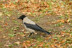 A gray black crow stands on the ground in an autumn park stock images