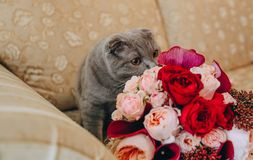 Gray big cat on the couch sniffing a flowers roses stock photography