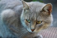 Gray big cat with green eyes on the street Stock Photos