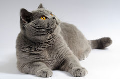 Gray big lazy cat. Gray big cat lazy posing on a white background royalty free stock images