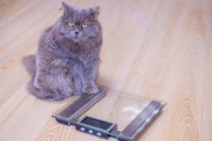 The gray big long-haired British cat sits near the scales and looks up. Concept weight gain during the New Year holidays, obesity, stock photography