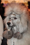 Gray big poodle Royalty Free Stock Photo