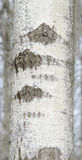 Gray Birch Tree Royalty Free Stock Photos