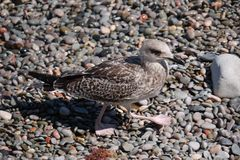 A gray bird with flippers on its paws goes through wet colored pebbles stock photography