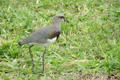 Gray bird on the grass. Small gray bird sitting on the green grass in summer during the day Royalty Free Stock Photo