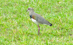 Gray bird on the grass. Small gray bird sitting on the green grass in summer during the day Royalty Free Stock Images