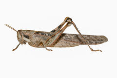 Gray Bird Grasshopper-Isolated su fondo bianco immagini stock