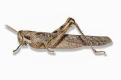 Gray Bird Grasshopper-Isolated su fondo bianco con goccia SH fotografia stock