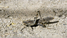 Gray Bird Grasshopper Laying Eggs Royalty Free Stock Photo