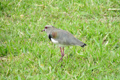 Gray bird on green grass. Small gray bird sitting on the green grass in summer during the day Stock Photos