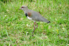 Gray bird on green grass. Small gray bird sitting on the green grass in summer during the day Stock Image