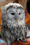 Gray bird owl. Owl gray bird with black eyes Stock Images