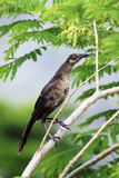 Gray bird sitting on the branch of acacia Stock Photo