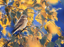 Gray bird sitting among the Golden autumn leaves of the birch on background blue sky. A small gray bird sitting among the Golden autumn leaves of the birch on Royalty Free Stock Photos