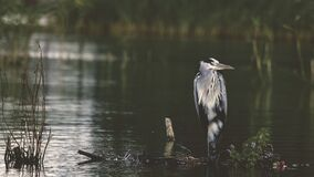 Gray and Black Bird in Body of Water during Daytime Royalty Free Stock Images