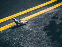 Gray and Black Bird Walking on Yellow Lined Gray Concrete Road Stock Photography