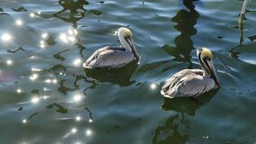 Gray and Black Birds on Body of Water Royalty Free Stock Photos