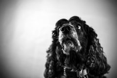 Gray and black Cocker Spaniel. A photo of a gray and black Cocker Spaniel looking up with long ears and sad eyes stock image