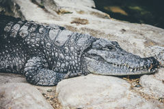 Gray and Black Crocodile on Rock Royalty Free Stock Image