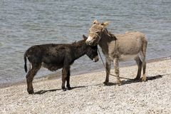 A gray and a black donkey make friends on the bank of Song Kul lake. In Kyrgyzstan Stock Image
