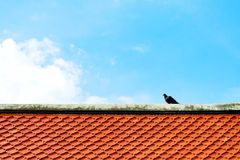 Gray and black dove or pigeon Columba livia is standing on orange tile roof at buddhist temple with blue sky and white clouds. royalty free stock photography