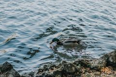 Gray and Black Duck on Body of Water stock images