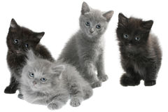Gray and black kittens sitting isolated