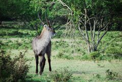 Gray and Black Long Coat Antelope on Green Grass Behind Green Tree Stock Photography