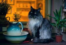 Gray black maine coon cat sitting in front of house window looking at something Royalty Free Stock Photography