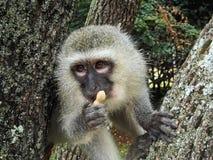 Gray and Black Monkey Holding Peanut Royalty Free Stock Image