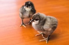 Gray and black newborn chickens on a wooden surface royalty free stock photos