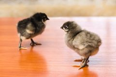 Gray and black newborn chickens on a wooden surface royalty free stock image