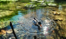 Gray Black and Orange Duck Swimming on Body of Water Royalty Free Stock Photo
