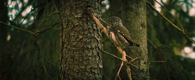 Gray and Black Owl on Tree Branch during Daytime Royalty Free Stock Photography