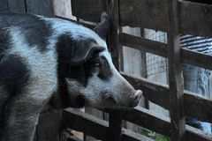 Gray with a black pig, a mixture of wild boar, in a pen in the v Stock Images